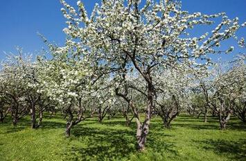 做一棵永远成长的苹果树