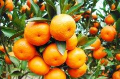 聚焦三农柑橘的幼树管理:柑橘创业成功